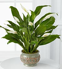 FTD Potted Plant